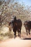 Brahman bull Royalty Free Stock Images