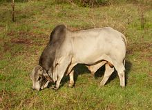 Brahman bull australian beef cattle Royalty Free Stock Images