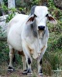 Brahman Bull Stock Image