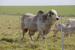 Brahman bull Royalty Free Stock Photos