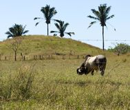 Brahman Bull Grazing Stock Image