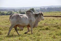 Brahman bull Royalty Free Stock Image