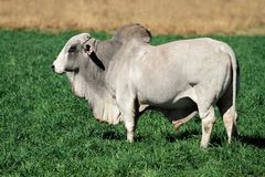 Brahman bull. Large white Brahman bull on green pasture Stock Photo