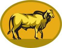 Brahman Bull Oval Retro Royalty Free Stock Photography