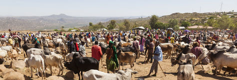 Brahman bull, Zebu and other cattle at one of the largest livestock market in the horn of Africa countries. Babile. Ethiopia. Royalty Free Stock Photos