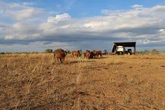 Brahman bulls on the horizon. stock photos