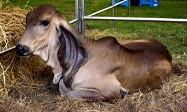 Brahman Calf Royalty Free Stock Photo