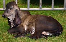 Brahman calf Royalty Free Stock Image