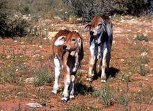 Brahman calves Royalty Free Stock Image