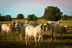 Brahman Cattle Stock Photography