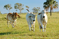 Brahman cattle. Found grazing in a paddock as the sun rose for the day royalty free stock photos