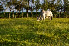Brahman Cattle - Bos Indicus Stock Image