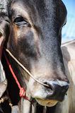 Brahman Cattle face details (Bos indicus). Royalty Free Stock Images