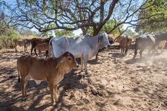 Brahman Cattle in the Kimberley. A Brahman cow and calf standing in shade of tree on El Questro Station in the remote Kimberley Region of Western Australia royalty free stock image