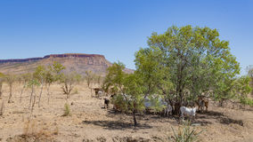 Brahman Cattle in the Kimberley. Brahman cattle sheltering in shade of tree at the foot of the Cockburn Range on El Questro Station in the remote Kimberley royalty free stock image