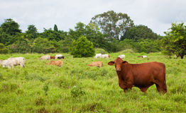 Brahman cattle Stock Photo