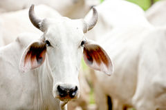 Brahman cow Royalty Free Stock Images
