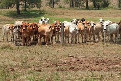 Brahman cow herd on ranch behind fence. Australian rural landscape barbed wire fence restrains brahman cow herd on ranch with foreground copyspace Stock Photos