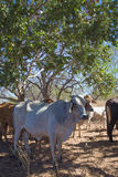 Brahman Cow in Shade. Brahman cattle are now the most popular breed of cattle in the Kimberley region of Western Australia. They are run on vast cattle stations royalty free stock photography