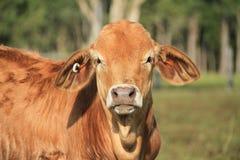 Brahman cross Angus steer Stock Images