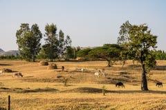 Brahman- eller Zebutjurar n?ra de bl?a Nilennedg?ngarna, Tis-Isat i Etiopien fotografering för bildbyråer