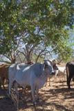 Brahman krowa w cieniu Fotografia Royalty Free