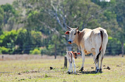 Brahman mother cow with newborn baby calf. A soft tender image of a purebred Australian beef cattle Brahman heifer mother cow with her newborn baby calf just royalty free stock photos