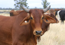 Brahman steer. In a mob of cattle on a stock route, NSW, Australia Stock Photography