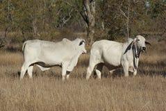 Brahman- Stiere in der Koppel lizenzfreie stockbilder