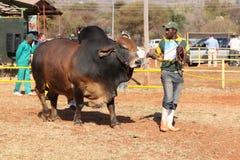 Brahman- Stierführung Browns durch Lenkerfoto Stockfoto