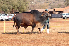 Brahman- Stierführung Browns durch Lenkerfoto Lizenzfreie Stockbilder
