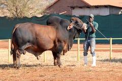 Brahman- Stierführung Browns durch Lenkerfoto Stockfotos
