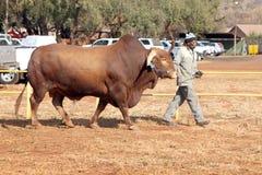 Brahman- Stierführung Browns durch Lenkerfoto Stockfotografie