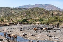 Brahman or Zebu bulls drinking water in Tigray, Northern Ethiopia royalty free stock photography