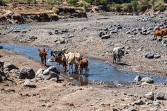 Brahman or Zebu bulls drinking water in Tigray, Northern Ethiopia.  stock photography