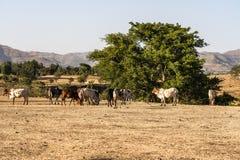 Brahman or Zebu bulls near the Blue Nile falls, Tis-Isat Falls, Ethiopia Eastern royalty free stock photo