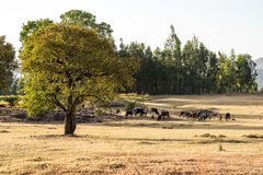 Brahman or Zebu bulls near the Blue Nile falls, Tis-Isat, Ethiopia, Africa royalty free stock photography