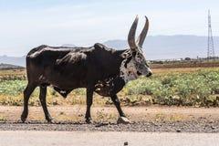 Brahman or Zebu bulls on the road to Gheralta in Tigray, Ethiopia. Brahman or Zebu bulls on the road to Gheralta in Tigray, Northern Ethiopia royalty free stock photo