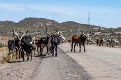 Brahman or Zebu bulls on the road to Gheralta in Tigray, Northern Ethiopia stock photography