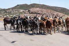 Brahman or Zebu bulls on the road to Gheralta in Tigray, Ethiopia. Brahman or Zebu bulls on the road to Gheralta in Tigray, Northern Ethiopia royalty free stock photos