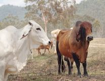 Brahman zebu cattle Royalty Free Stock Image