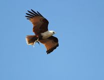 Brahmani kite with fish. A Brahmani Kite approaches its nest with a fish in its talons Stock Images