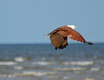 Brahmani kite flying away. Brahmani kite heads off over the ocean Royalty Free Stock Photos