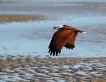 Brahmani kite flying away. The brahmani kite moves along the shallows Stock Image