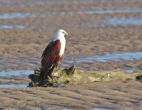 Brahmani kite roosts on a log. A Brahmani Kite roosts on a log waiting for its mate to join it Stock Images