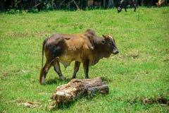 Brahmanko som går på ängen med att förmultna inloggning förgrunden och två kor som äter grönt gräs på bakgrunden Royaltyfria Bilder