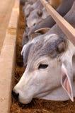Brahmans em uma pena de alimentação fotografia de stock