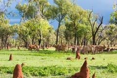 Brahmanu bydła pasanie w Australijskim odludziu obrazy royalty free