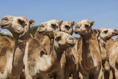 Brahmanu byk, Zebu i inny bydło przy bydlęciem, wprowadzać na rynek Babile Etiopia Fotografia Royalty Free