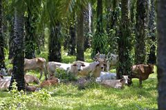 Brahmas under Palm Trees Royalty Free Stock Photos